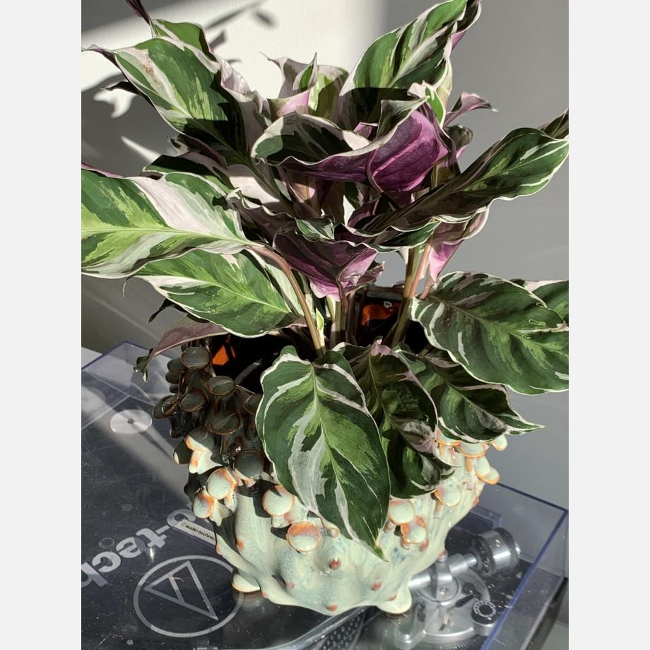 Calathea White Fusion 14cm   Very Rare Houseplants 5