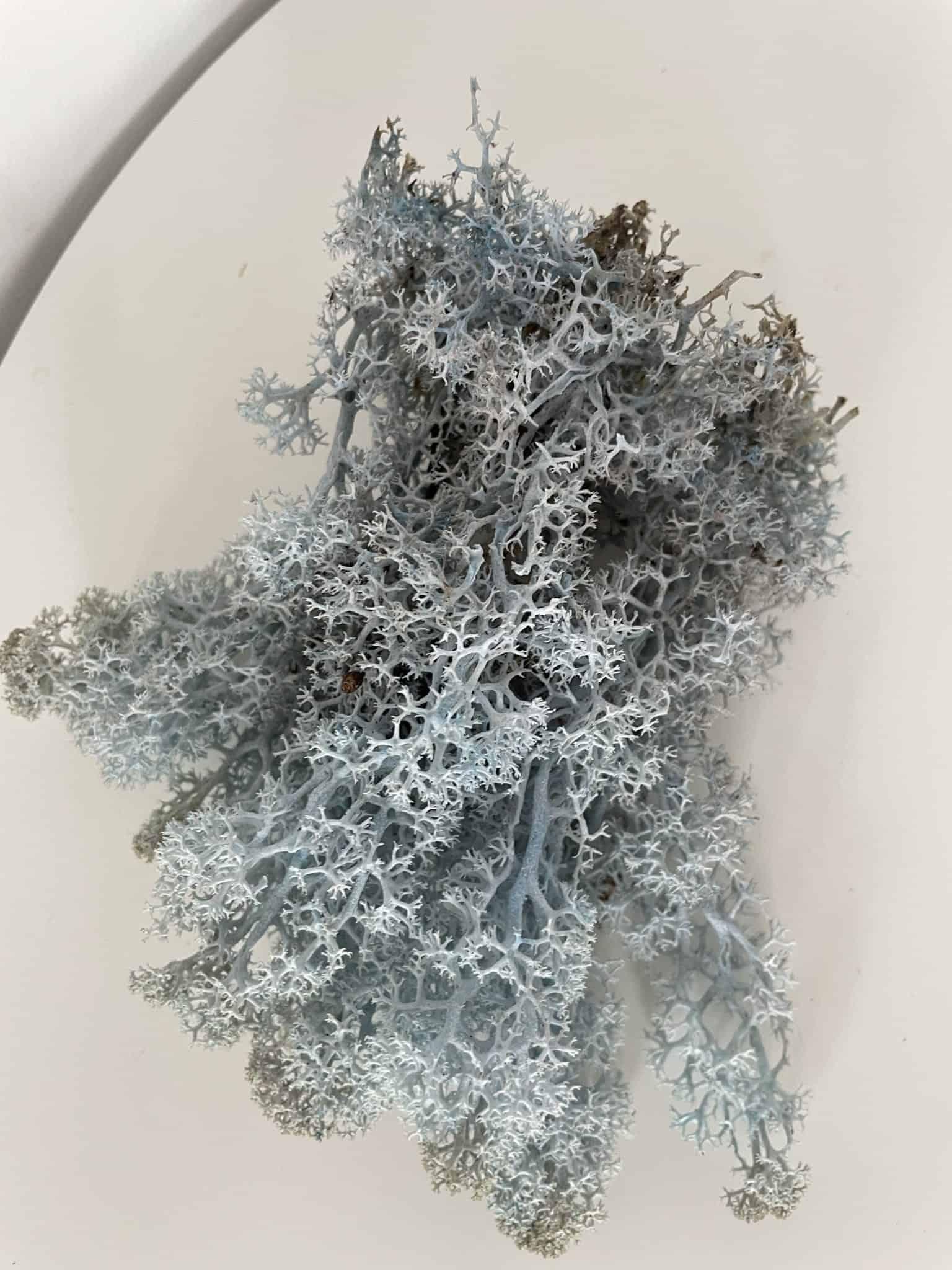 Preserved Reindeer Moss - Ice Blue - 25g