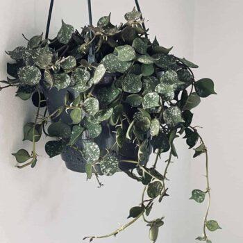 Hoya Curtisii | houseplant in 14cm hanging pot Hanging & Trailing 14cm plant