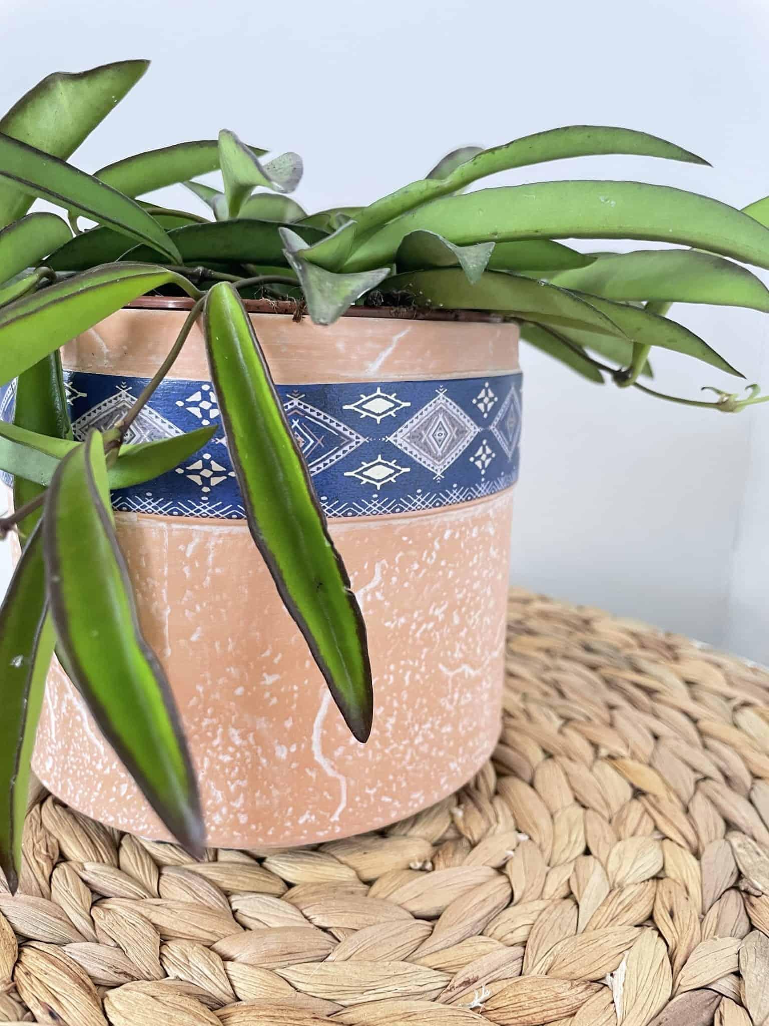 Hoya Wayetii | houseplant in 12cm pot