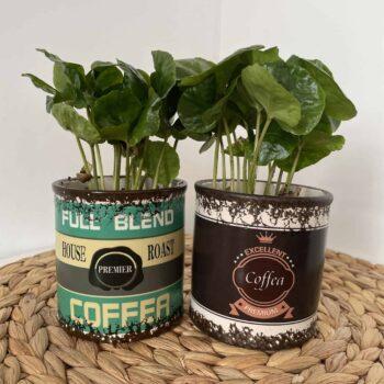 Coffea Arabica 7cm | Coffee plant in retro can style ceramic planter Houseplants
