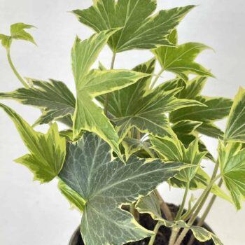 Hedera Helix Yellow Ripple 6cm Houseplants