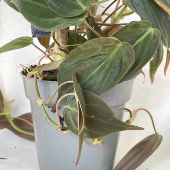 Philodendron Micans | Velvet Heart Leaf Vine 12cm pot Hanging & Trailing 12cm plant
