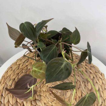 Philodendron Micans | Velvet Heart Leaf Vine 12cm pot Hanging & Trailing 12cm plant 2