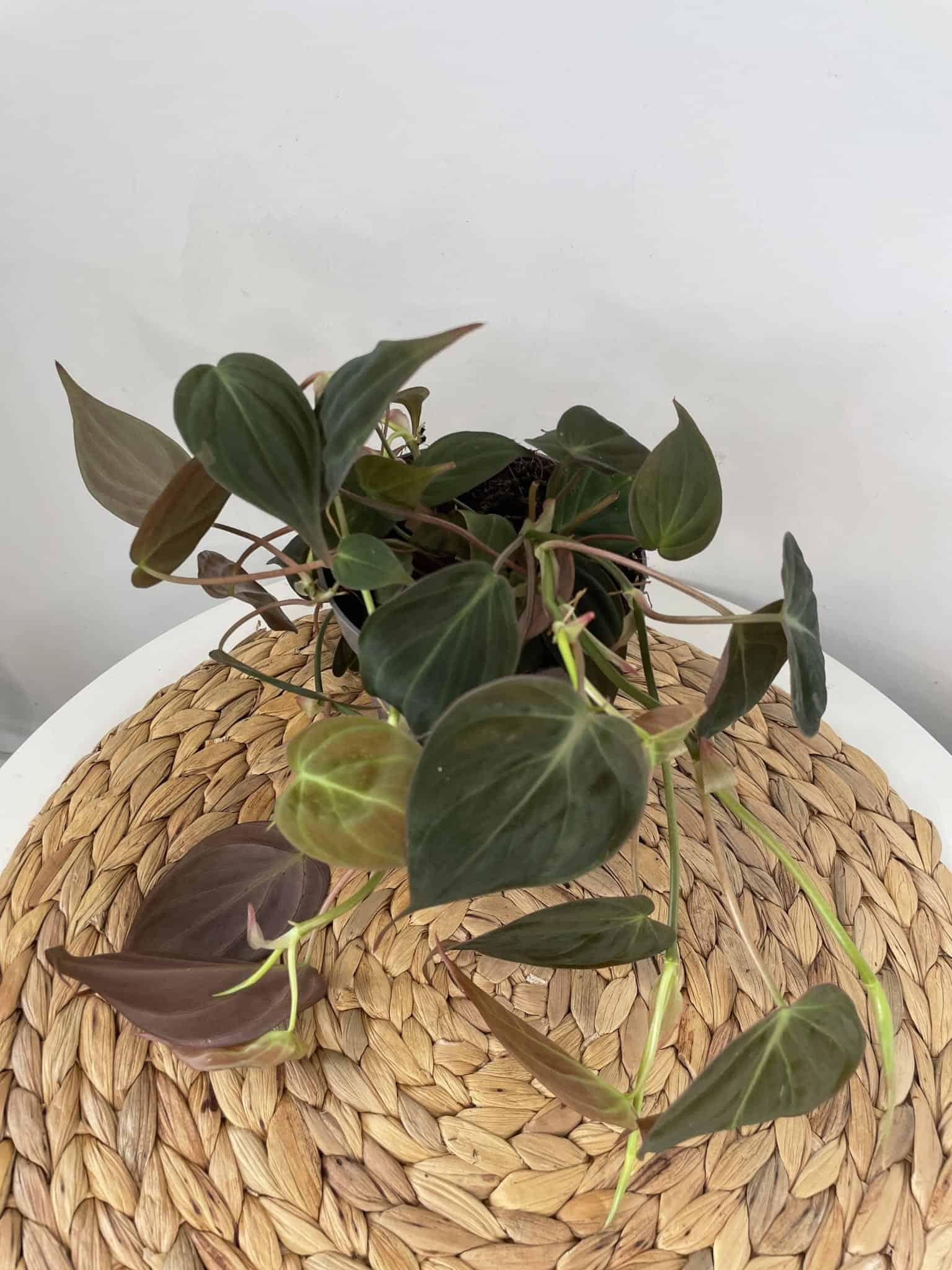 Philodendron Micans   Velvet Heart Leaf Vine 12cm pot