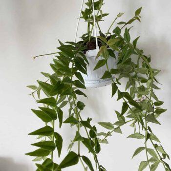 Hoya Bella | houseplant in hanging 12cm pot Hanging & Trailing