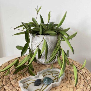 Hoya Wayetii | houseplant in 12cm pot Hanging & Trailing 12cm pot