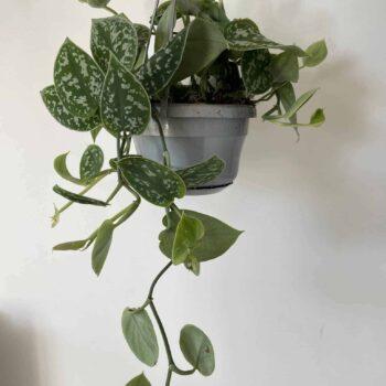 Epipremnum pictum Pothos 'Argyraeus'   14cm Hanging Pot Hanging & Trailing 14cm 4
