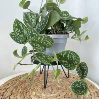 Epipremnum pictum Pothos 'Argyraeus' | 14cm Hanging Pot Hanging & Trailing 14cm