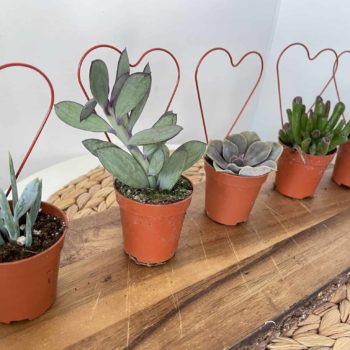 Succulent Mix with Hearts in 5cm pots Houseplants