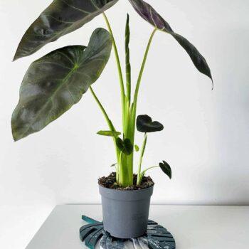 Colocasia Cintho Aloha 13cm pot 50cm tall Houseplants