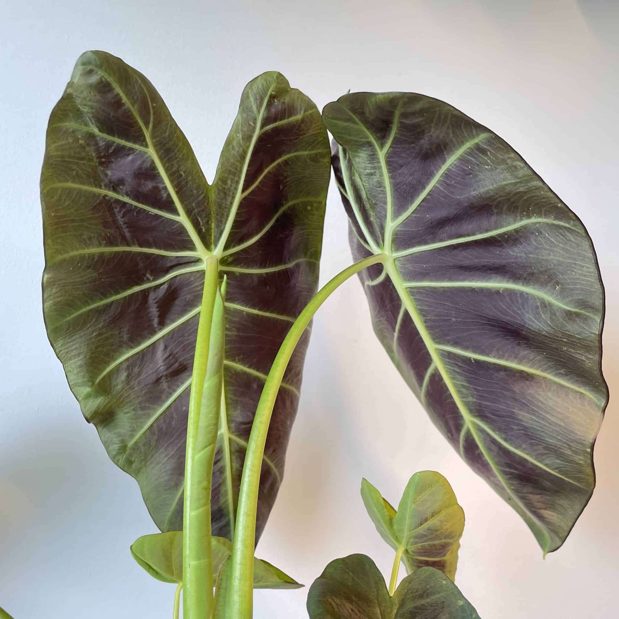 Colocasia Cintho Aloha 13cm pot 50cm tall
