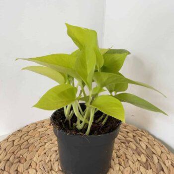 Scindapsus Neon Pothos in 12cm pot Hanging & Trailing 12cm plant