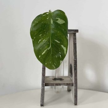 Philodendron White Princess Unrooted Cuttings Cuttings