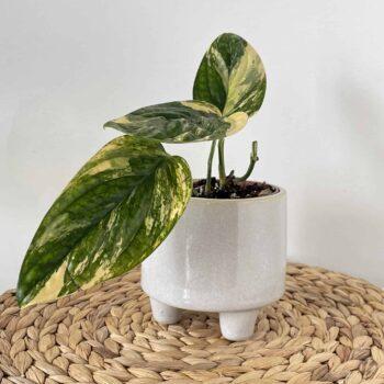 Short Legged Planter for 9cm Pots Plant Accessories 9cm planter