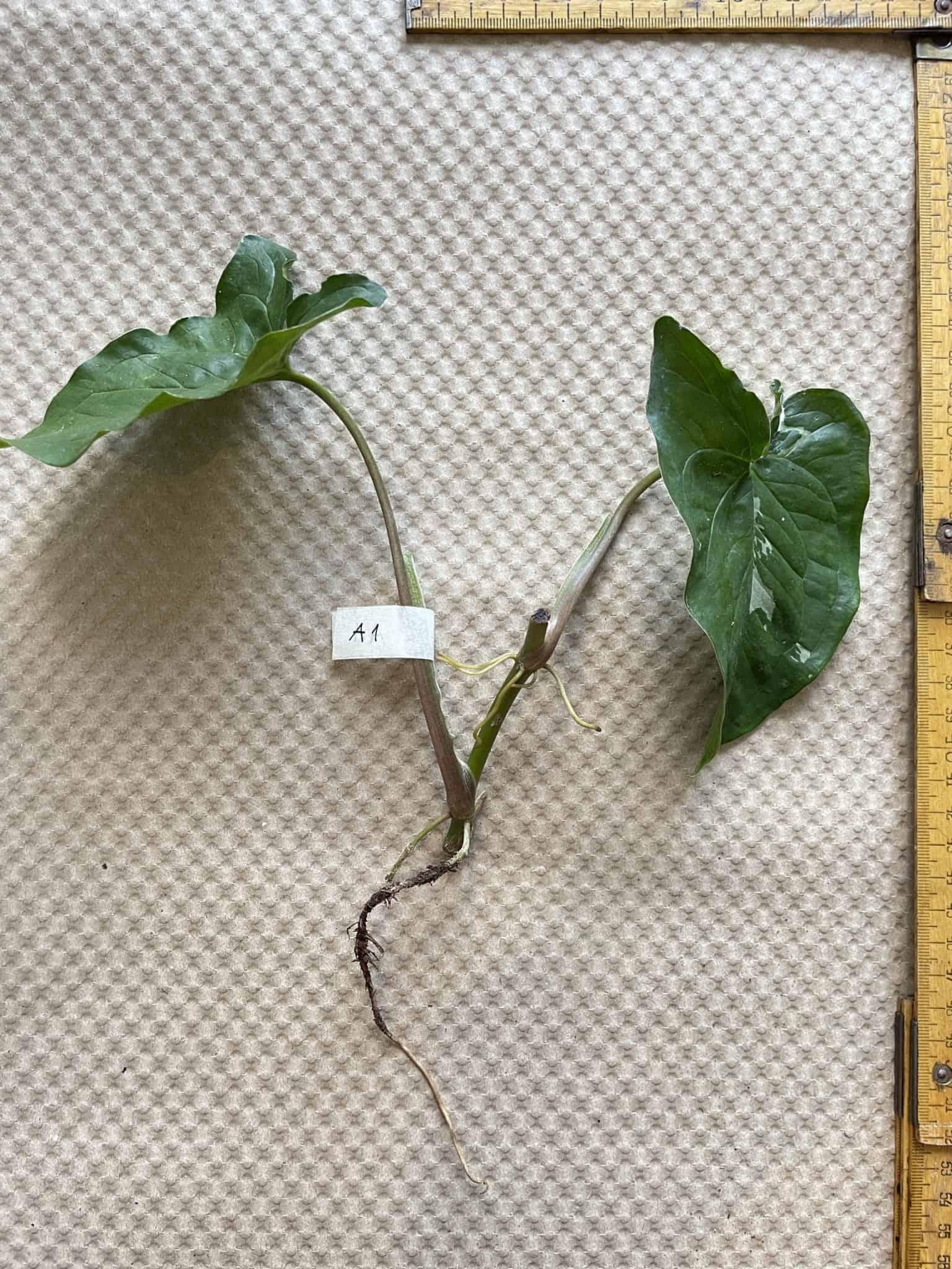 Syngonium Albo Variegata   Arrowhead Plant   Cuttings Cuttings 15
