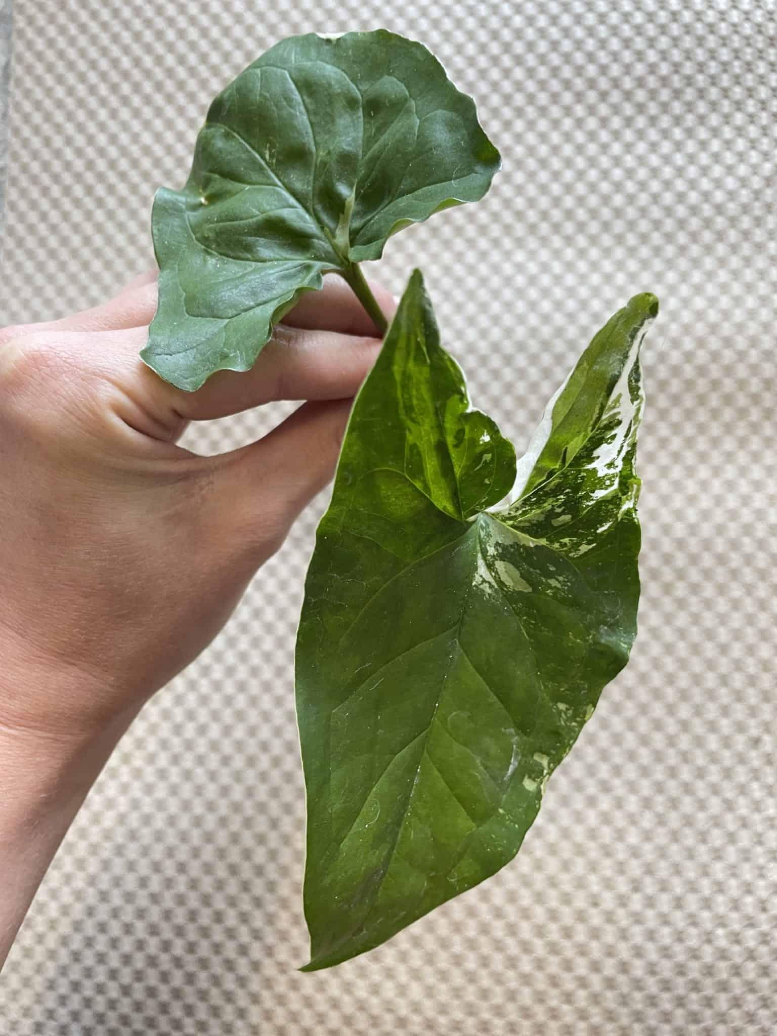 Syngonium Albo Variegata   Arrowhead Plant   Cuttings Cuttings 11