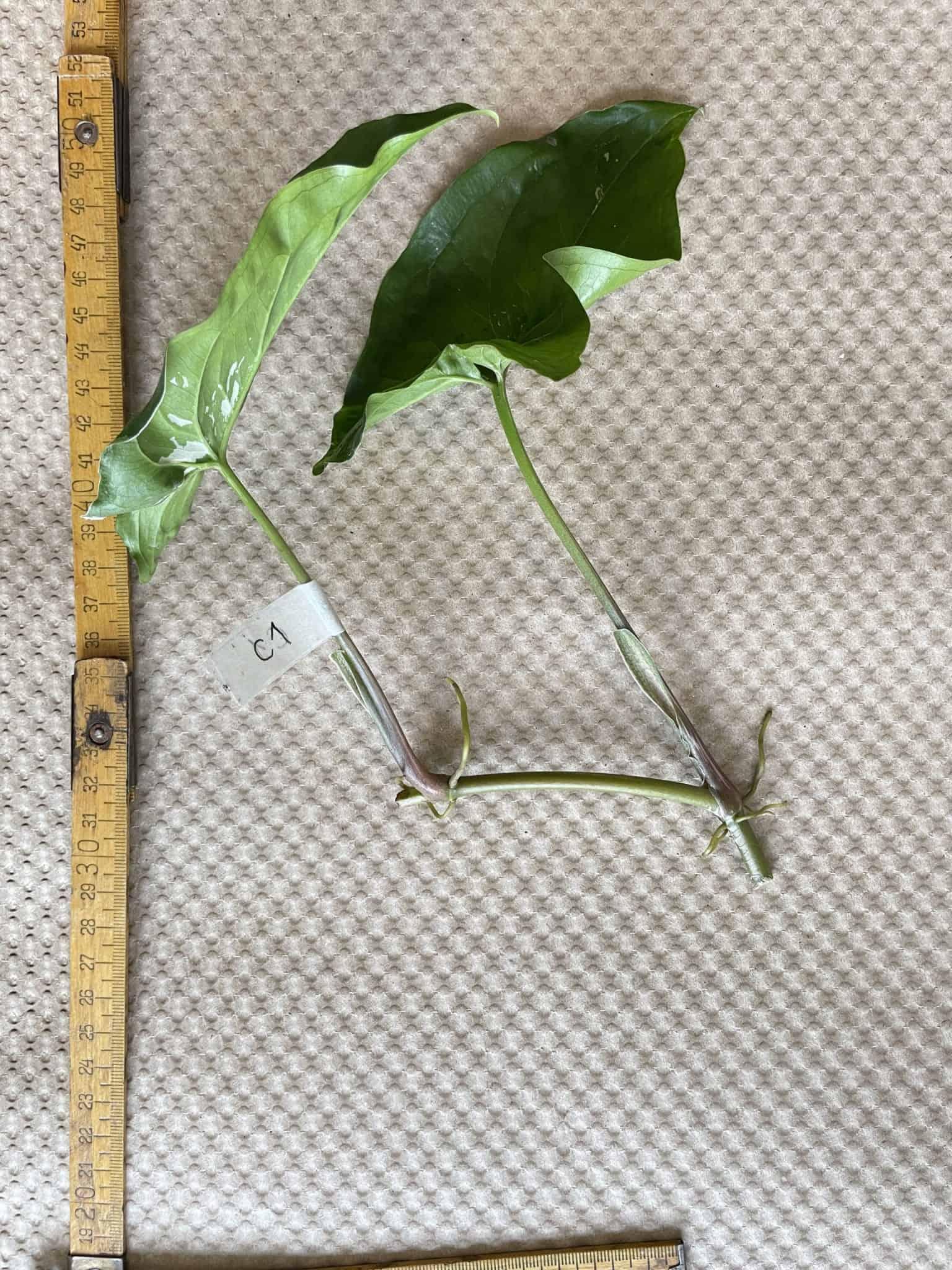 Syngonium Albo Variegata   Arrowhead Plant   Cuttings Cuttings 10