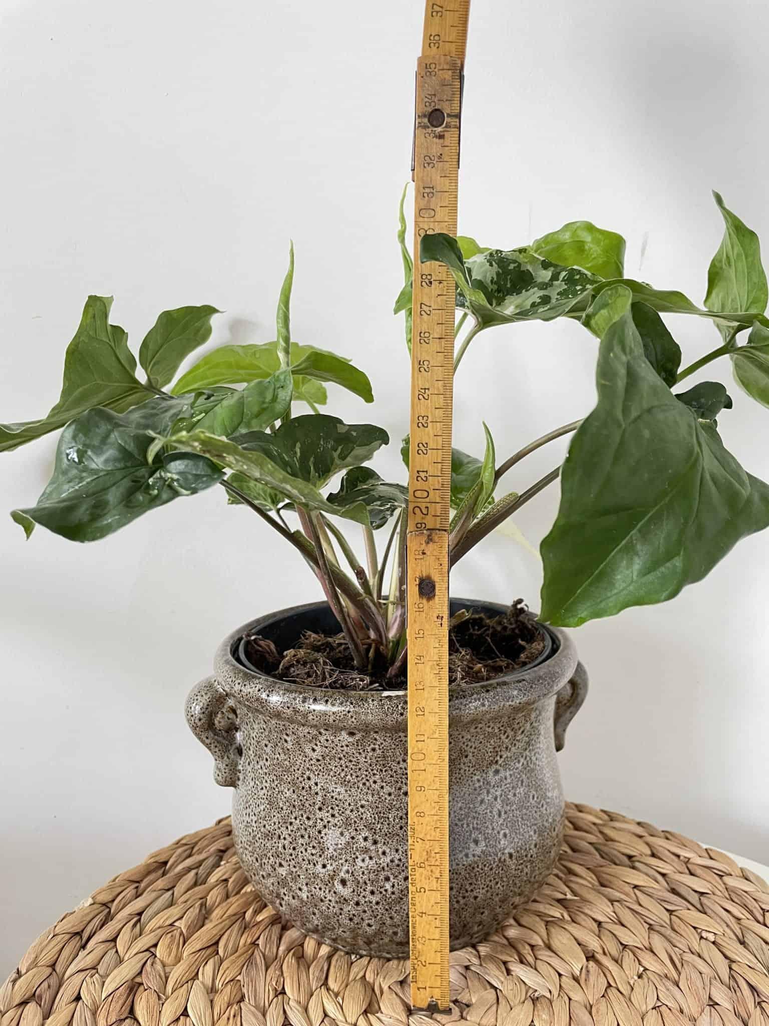 Syngonium Albo Variegata (Arrowhead Plant) in 15cm pot