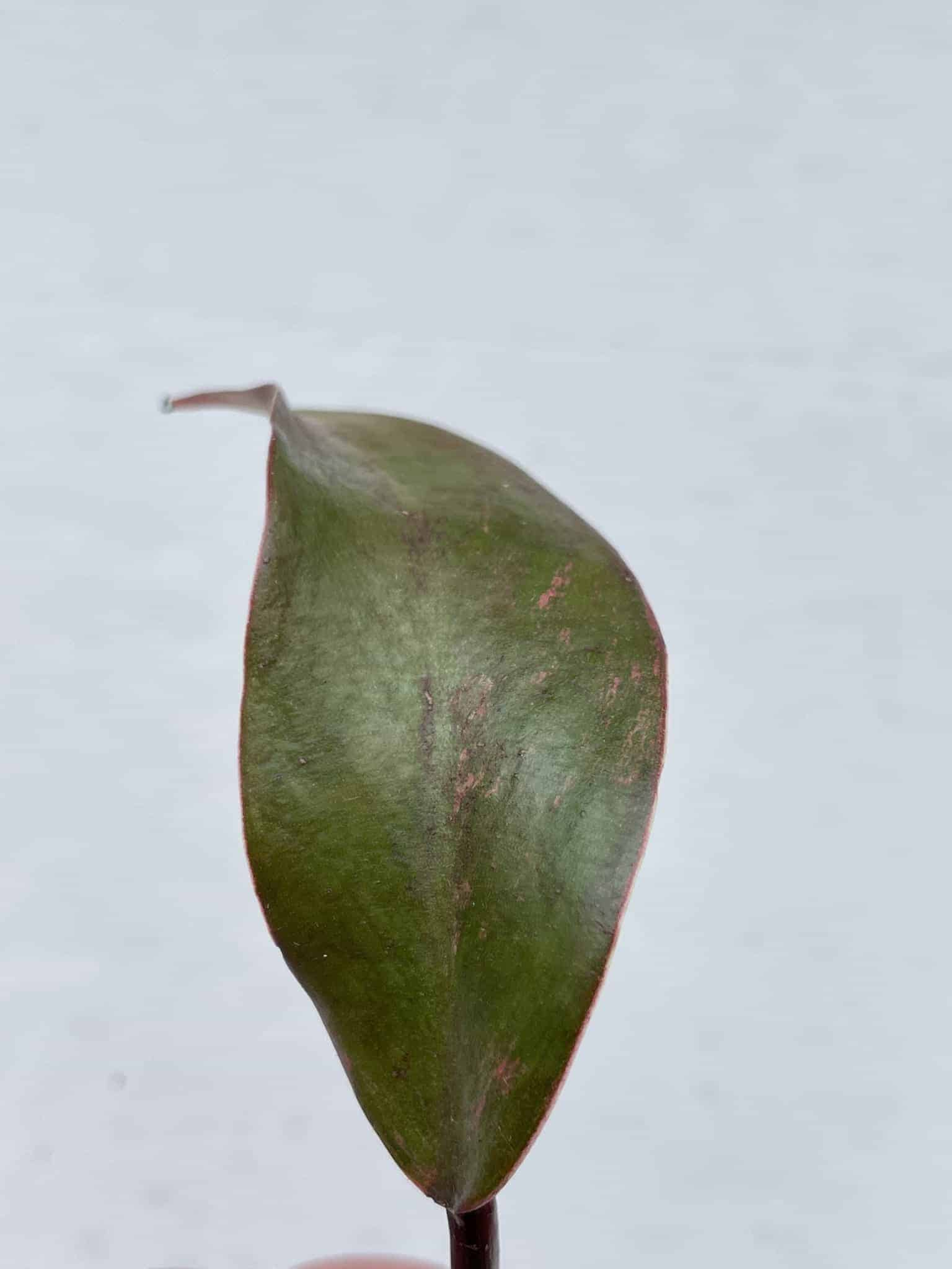 Philodendron Strawberry Shake Unrooted Cutting | Very Rare