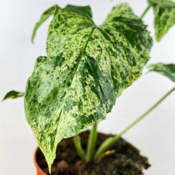Syngonium Mottled (Arrowhead Plant) in 12cm pot, 25cm tall Houseplants 12cm plant