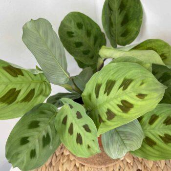 Maranta Leuconeura Kerchoveana 12cm pot | Prayer plant Houseplants 12cm pot