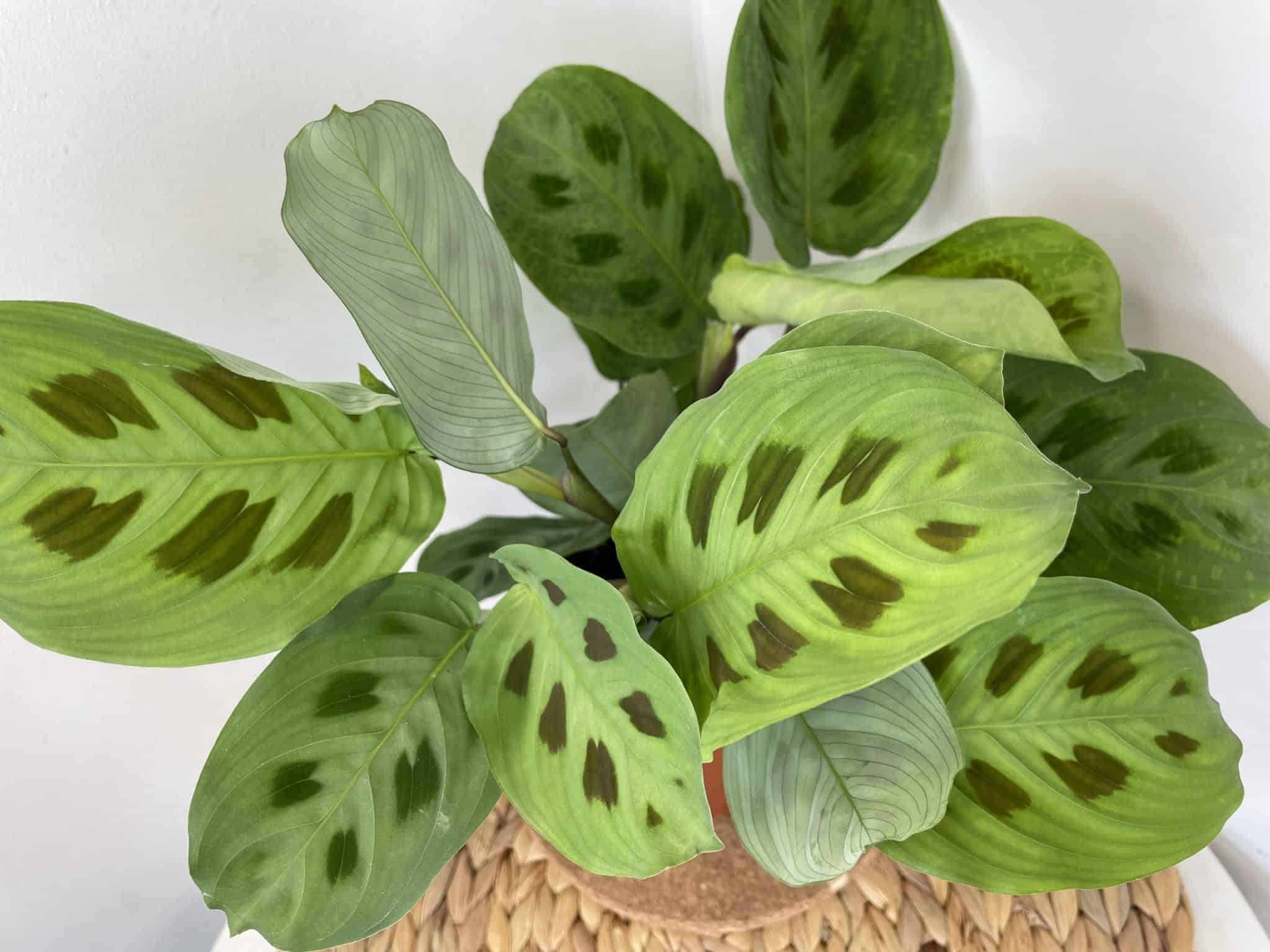 Maranta Leuconeura Kerchoveana 12cm pot | Prayer plant