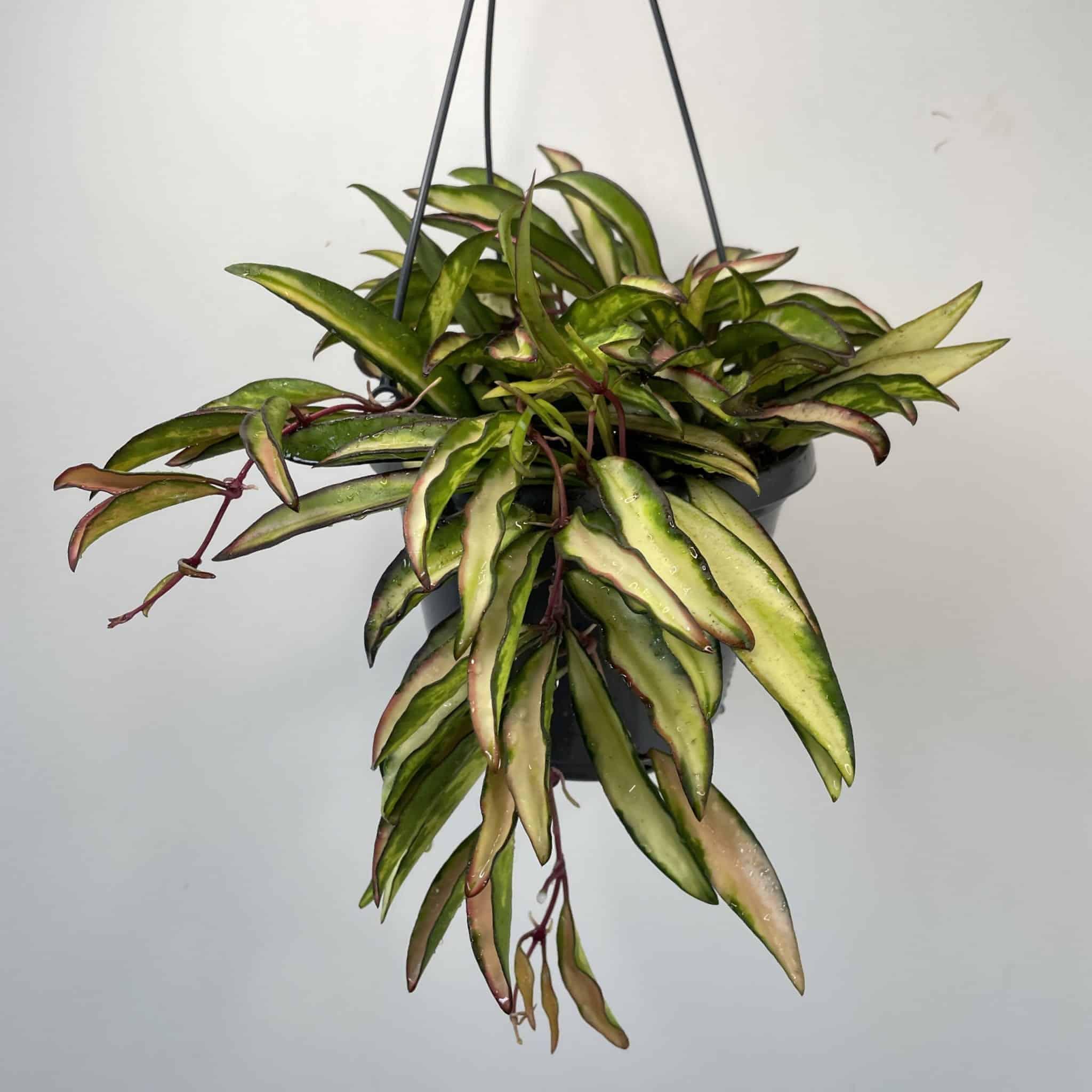 Hoya Wayetii Variegated Tricolor   rare   12cm hanging pot