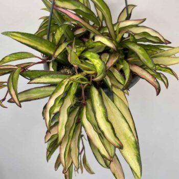 Hoya Wayetii Variegated Tricolor | rare | 12cm hanging pot Hanging & Trailing 12cm pot