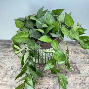 Hoya Lacunosa in 12cm pot Hanging & Trailing 12cm plant