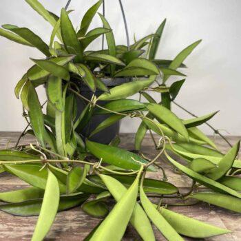 Hoya Wayetii | houseplant in 14cm hanging pot Hanging & Trailing 14cm plant 2