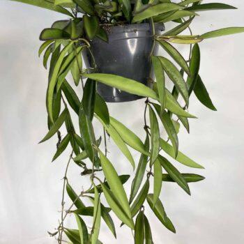 Hoya Wayetii | houseplant in 14cm hanging pot Hanging & Trailing 14cm plant