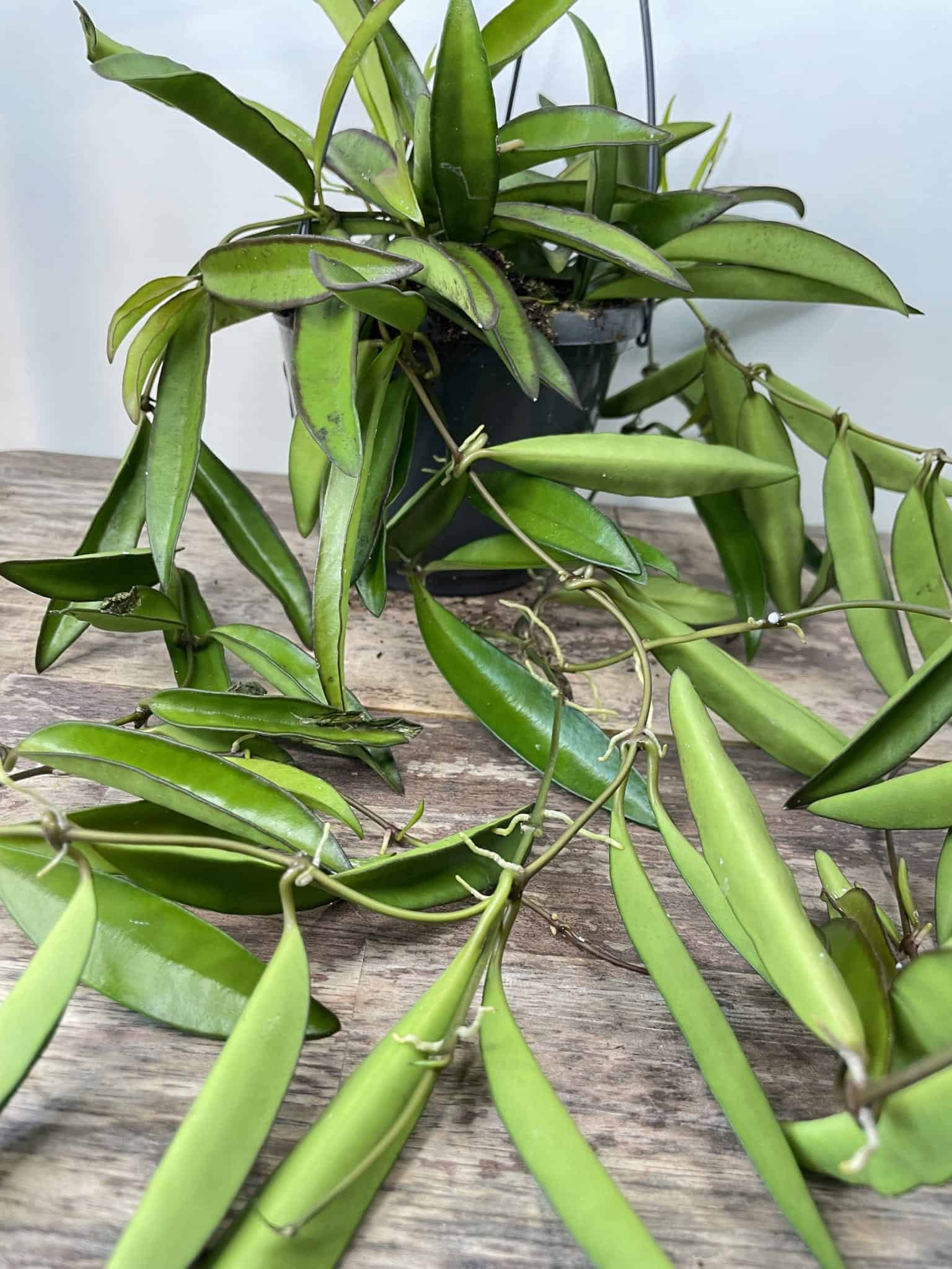 Hoya Wayetii | houseplant in 14cm hanging pot