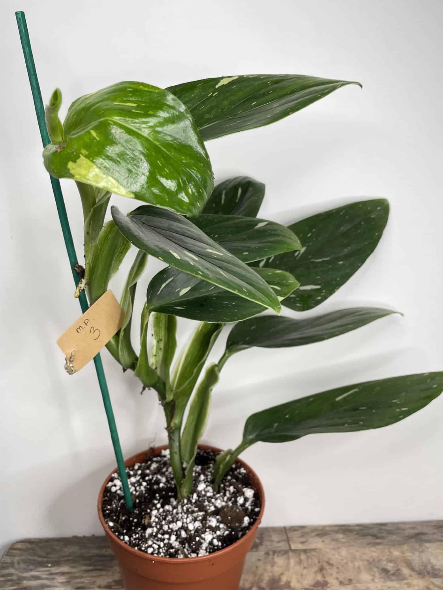 Philodendron Cobra in 13cm pot | Monstera standleyana