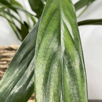 Epipremnum Amplissimum in 12cm pot Houseplants