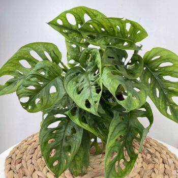 "Monstera Adansonii 'Leichtlinii"" 14cm | Monkey Mask Houseplants"
