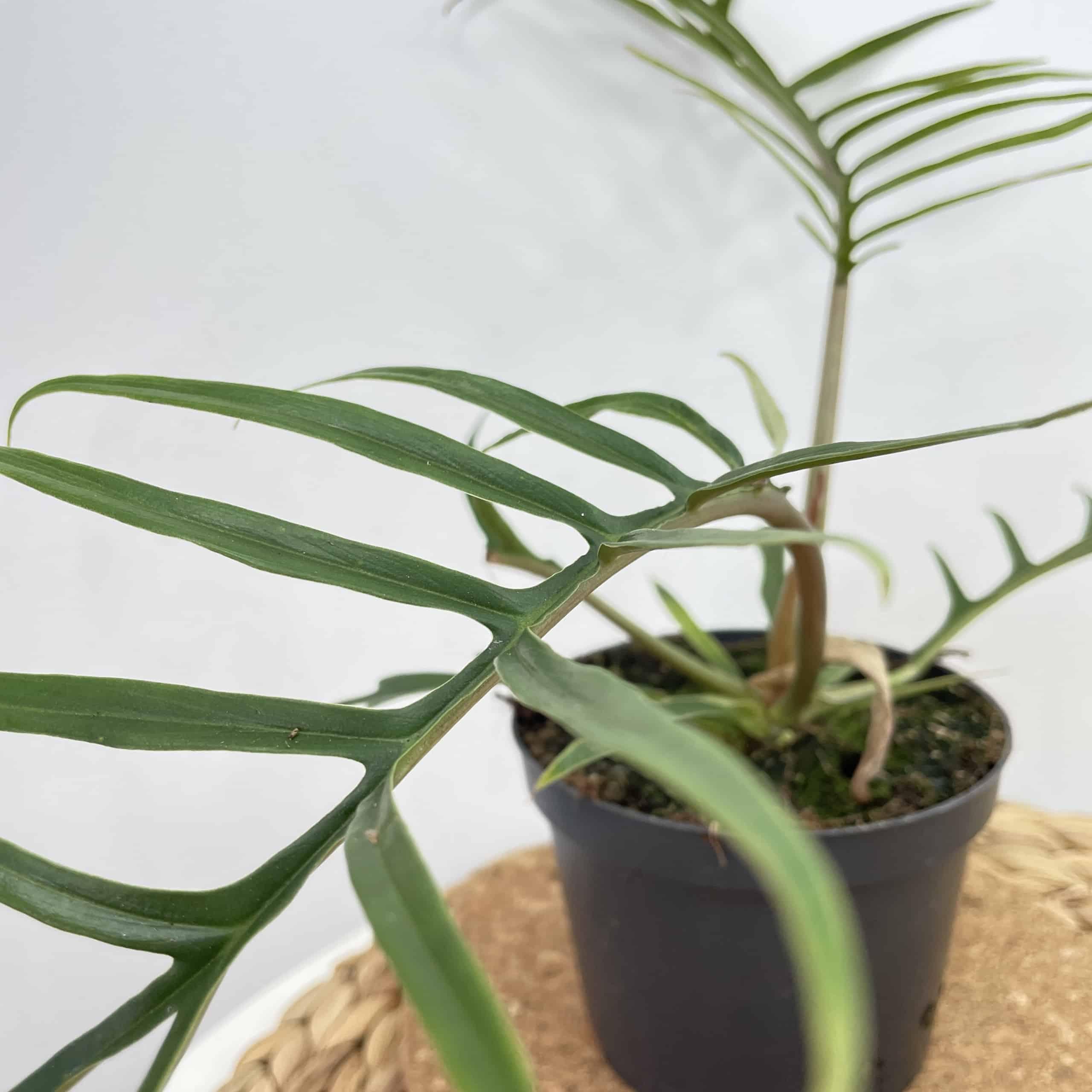 Philodendron Bipinnatifidum 'Tortum' 12cm