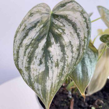 Philodendron Brandtianum 12cm | Silver Leaf Houseplants 12cm plant