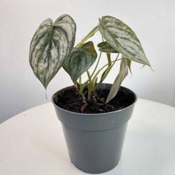 Philodendron Brandtianum 12cm | Silver Leaf Houseplants 12cm plant 2