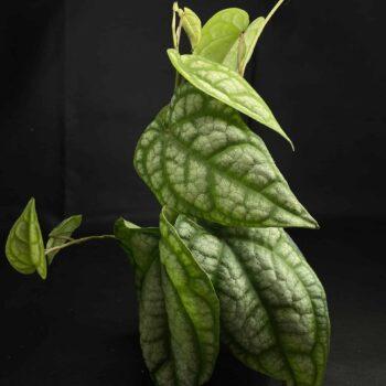 Piper sylvaticum AKA Chavica sylvatica in 12cm pot Houseplants 12cm plant