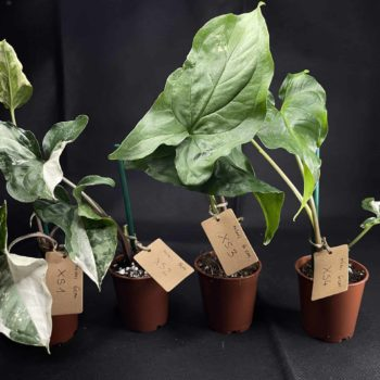 Syngonium Albo Variegata (Arrowhead Plant) XS 6cm Range Houseplants 6cm
