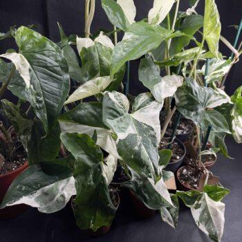 Syngonium Albo Variegata (Arrowhead Plant) M 10cm Range Houseplants 10cm plant
