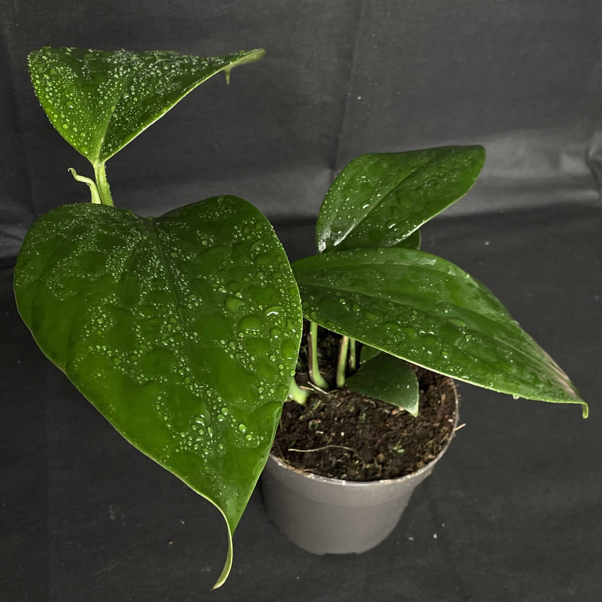 Philodendron Dragon Tail in 14cm pot