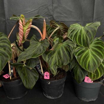 Philodendron Verrucosum in 17cm pot Houseplants 17cm plant