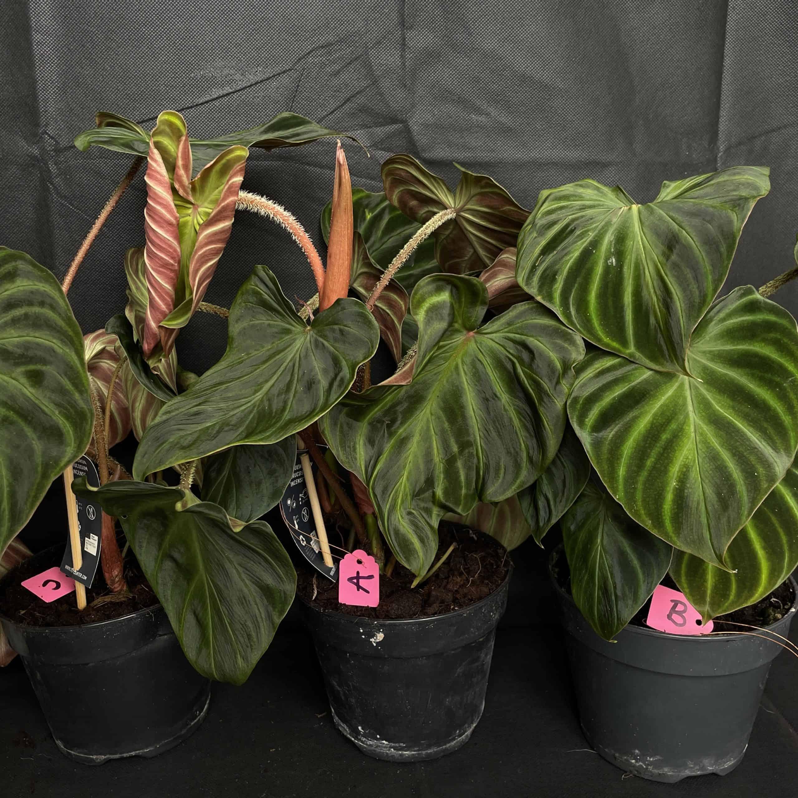 Philodendron Verrucosum in 17cm pot