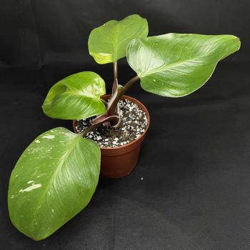 Philodendron White Knight in 12cm pot | rare and variegated Houseplants