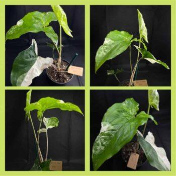 Syngonium Albo Variegata (Arrowhead Plant) M 10cm Range Houseplants 10cm plant 2