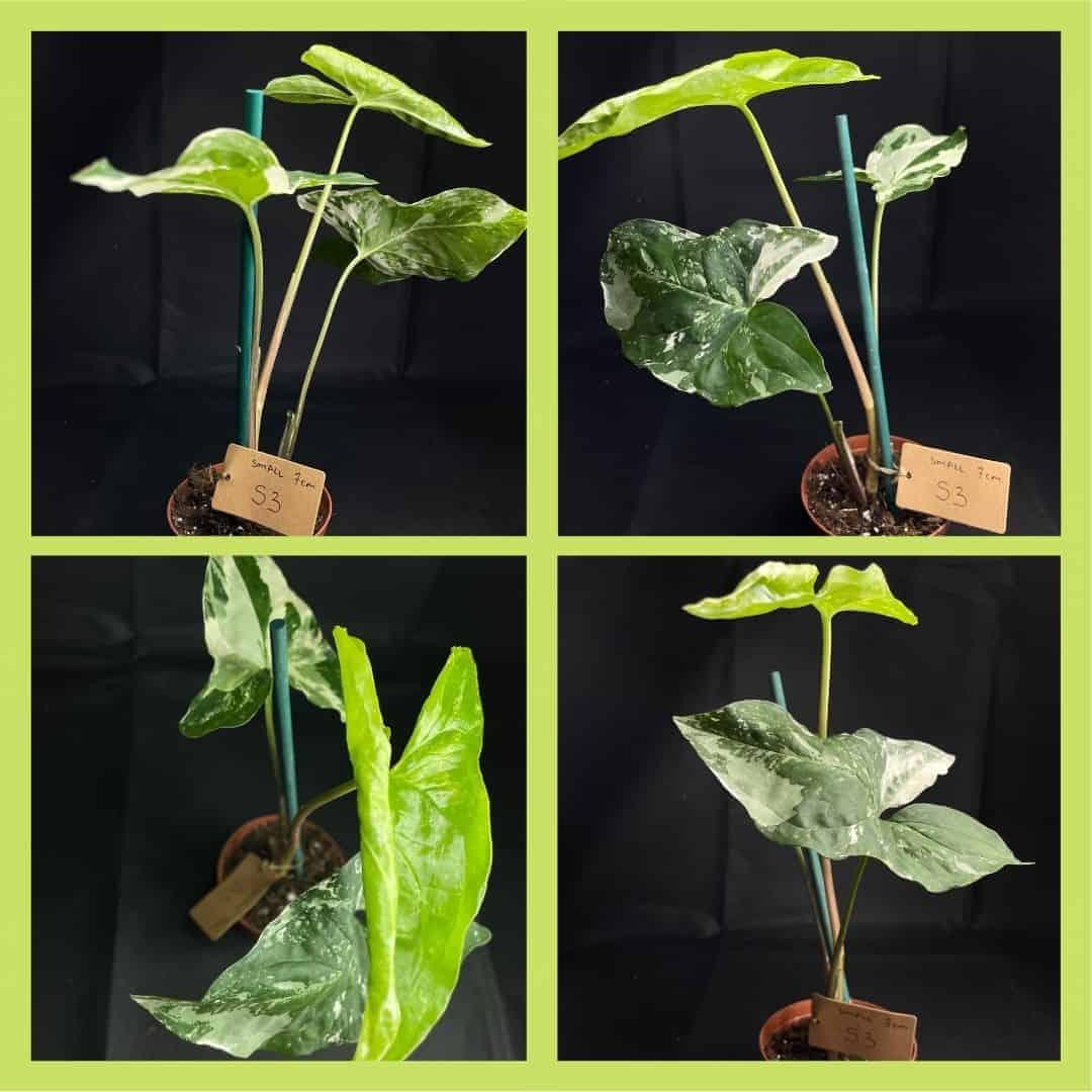 Syngonium Albo Variegata (Arrowhead Plant) S 7cm Range
