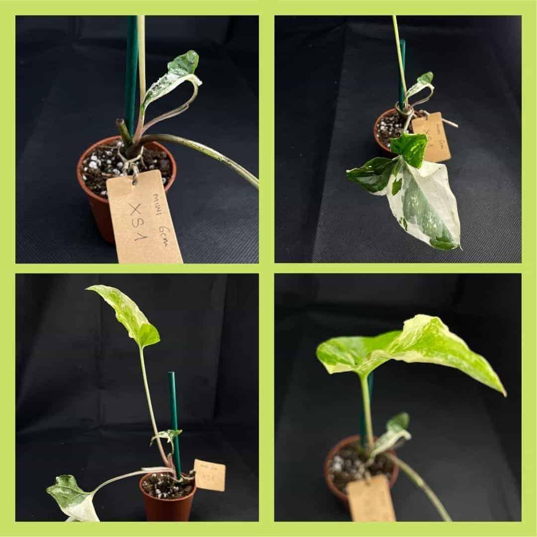 Syngonium Albo Variegata (Arrowhead Plant) XS 6cm Range