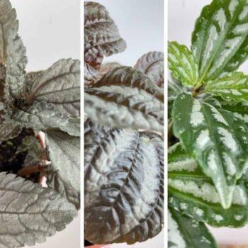 Pilea Mix in 8cm pots | Norfolk | Silver Tree | Cadierei Houseplants 8cm plant